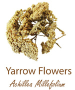 yarrow flowers olympus life herbs and herbal teas ziola herbaty ziolowe